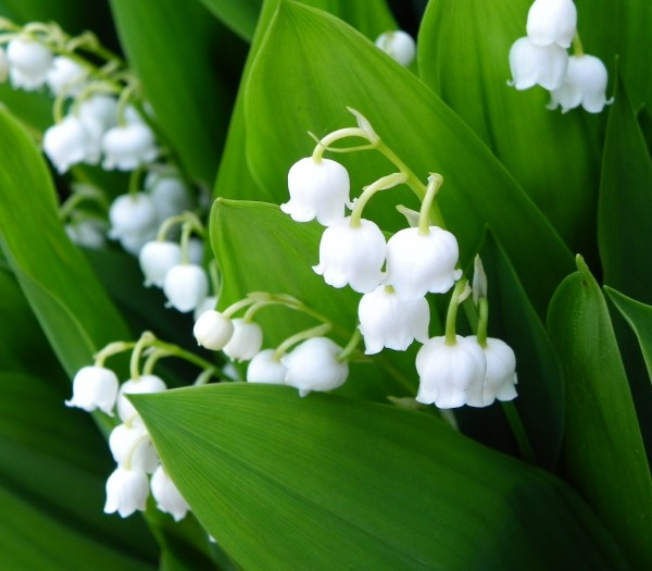 すずらんは強い芳香でも知られています。すずらんの花畑で深呼吸してみたいですね。