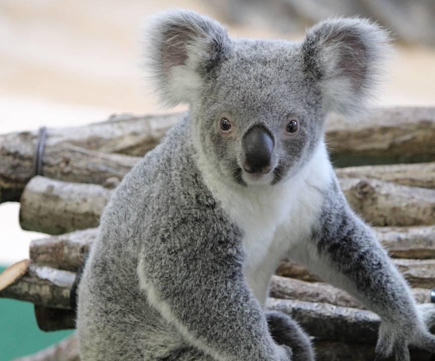 なんだかほっそりとした印象のコアラです。コアラにも個人差があるようですね。