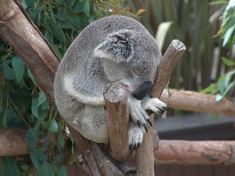 ものすごい体制で眠っているコアラ。落ちないのでしょうかと心配になってしまいます。絶妙なバランス感覚です。