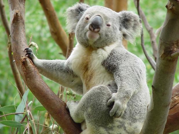 ものすごい貫禄のコアラ。見下されていますね。森の主にさえ見えてきます。