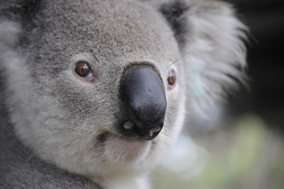 ものすごく真剣なまなざしのコアラ。人間味があふれる表情がじわじわときます。