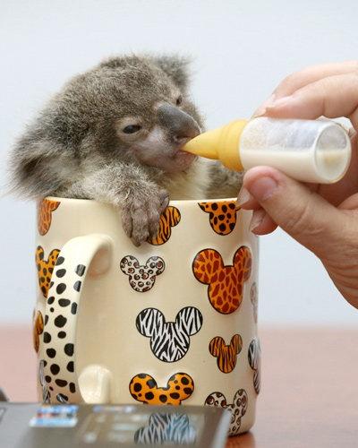 ミルクを飲むコアラ。マグカップに収まってしまうのですね。今にも寝てしまいそうですね。