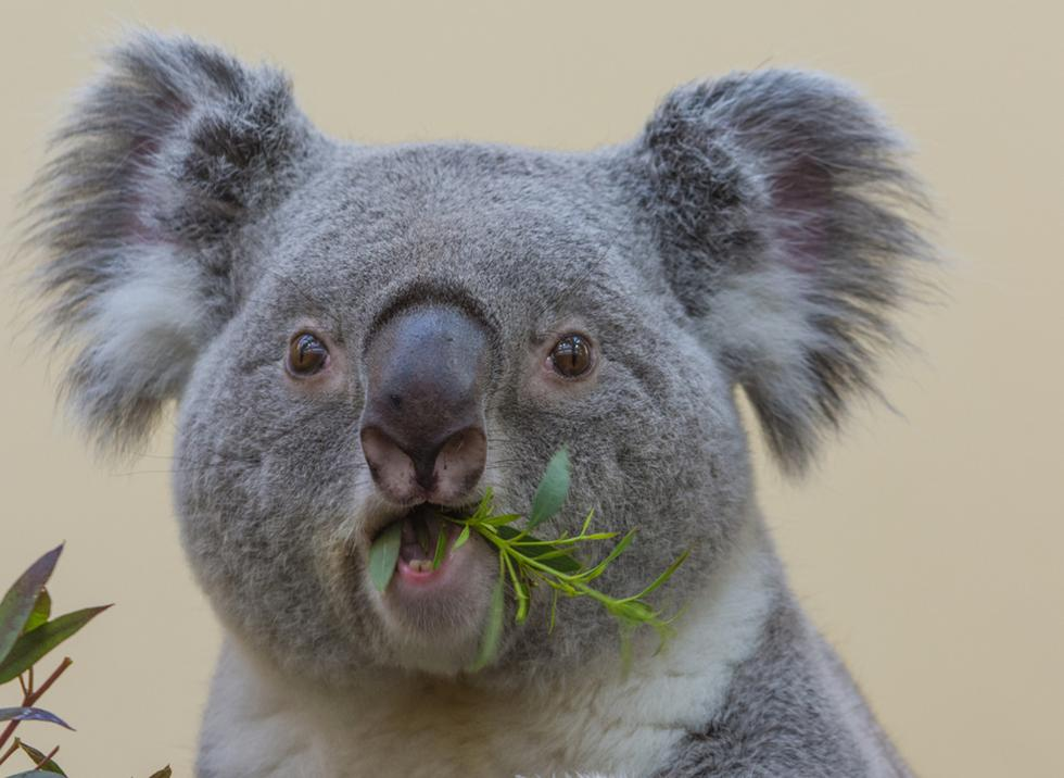 ユーカリの葉をもしゃもしゃと食べるコアラ。コアラの歯はなかなか見れないですね。口元がクスッときます。