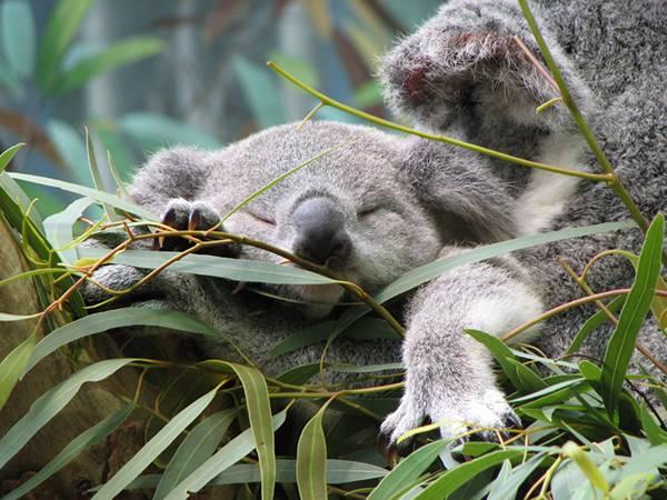 ユーカリを食べながら眠る赤ちゃんコアラ。夢の中でもユーカリを食べているのでしょうか。