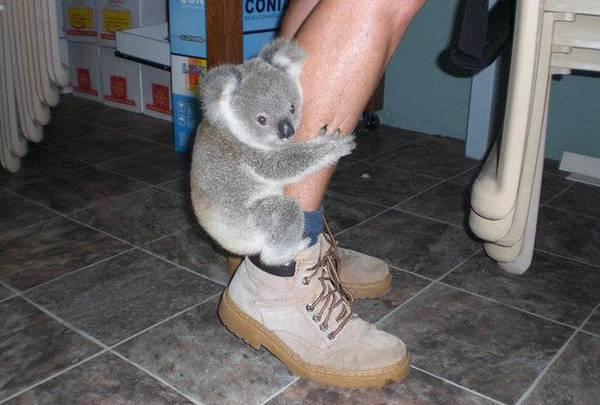 人の足にしがみつく子供のコアラ。こういうぬいぐるみにしかみえません。