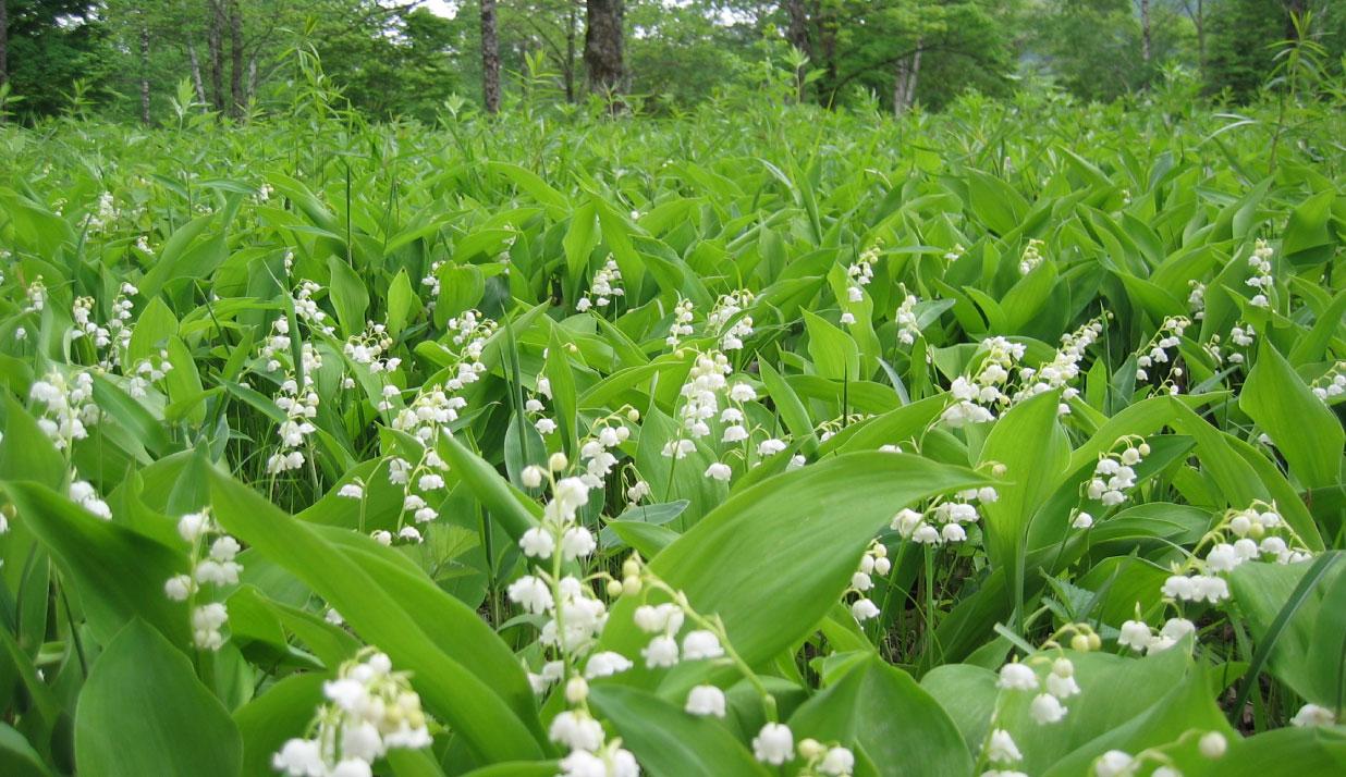 北海道の初夏を代表する花、すずらん。ここ北海道平取町幌尻岳のふもとの芽生(めむ)の野性すずらん群生地は約15haと日本一の広さを誇っています。