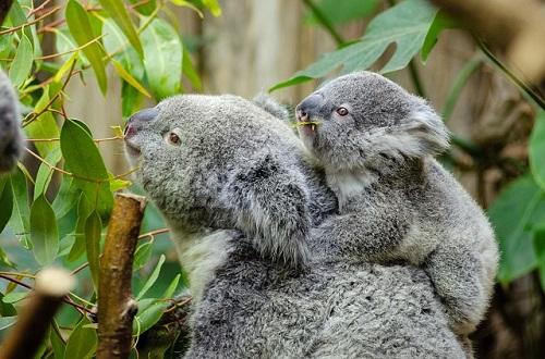 同じ方向を向く親子のコアラ。よくよく見るとユーカリの葉をむしゃむしゃしています。