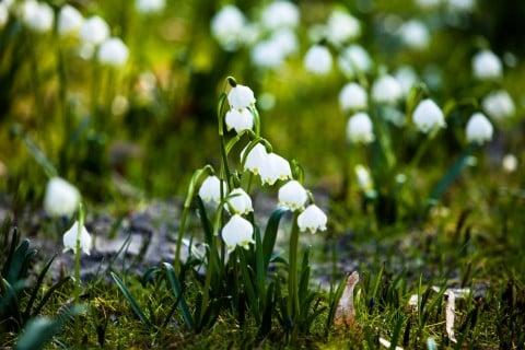地面に芽吹くすずらん。すずらんは寒い地域に多く咲いています。