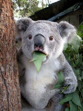 子供のコアラでしょうか。ユーカリの葉をほおばったままポカーン顔です。あんぐりあいた口がとってもキュートです。