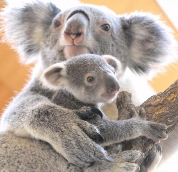 子供のコアラをがっしりと抱きしめる親のコアラ。親子の愛を感じる一枚です。