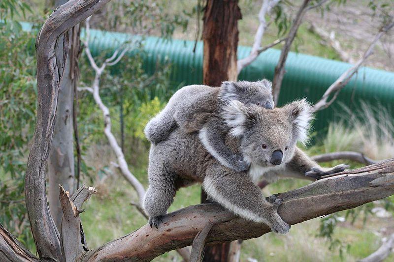 子供のコアラを背負ったまま颯爽と木を移動する親のコアラ。躍動感がすごいです。子供のコアラも落ちないように必死ですね。