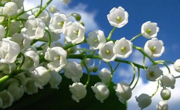 幸福な気分にさせてくれる香りと、愛らしい姿がその場を和ませてくれるすずらん。今では結婚式のブーケに使われることもあり、幸せを運んでくれる花として広く知られています。