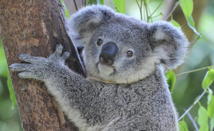 木にしがみつくコアラ。少しずんぐりむっくりなぽっちゃり体形が愛嬌たっぷりです。