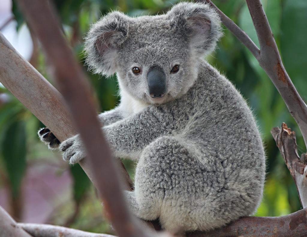 枝にたたずむコアラ。枝にちょこんと添えられた前足がキュートすぎます。