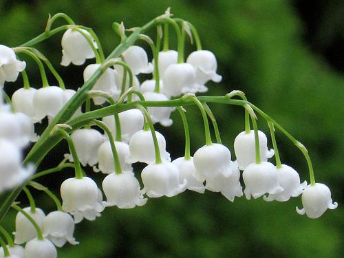横顔も可愛らしいすずらん。花々がキレイに整列していますね。