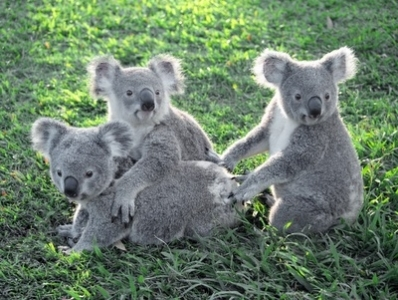 草原で群がるコアラ。通常は群れをつくらず単独で行動すると言われています。。