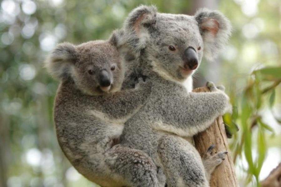 親子のコアラです。子供のコアラは親コアラにがっちりつかまっていますね。ちょっと重そうです。