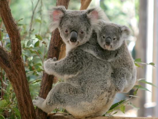 親子のコアラです。子供のコアラは親コアラにがっちりつかまっていますね。必死の前足が可愛らしいですね。