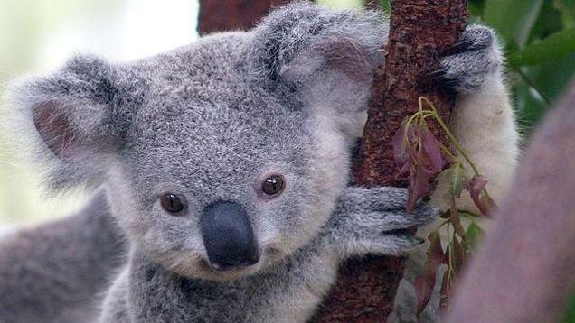 赤ちゃんコアラでしょうか。もはやぬいぐるみにしか見えません。ビー玉みたいな瞳がとってもきれいです。