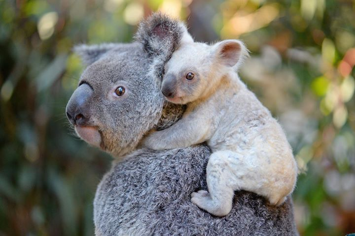 赤ちゃんコアラを首に乗せている親のコアラ。赤ちゃんコアラは白いのですね。小さくても顔はそっくりです。
