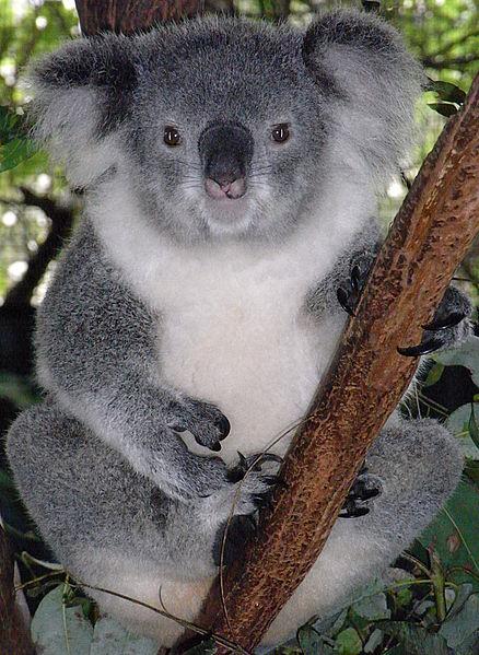 首周りの白い毛がファッサファサのもっふもっふのコアラです。顔をうずめてみたいですね。