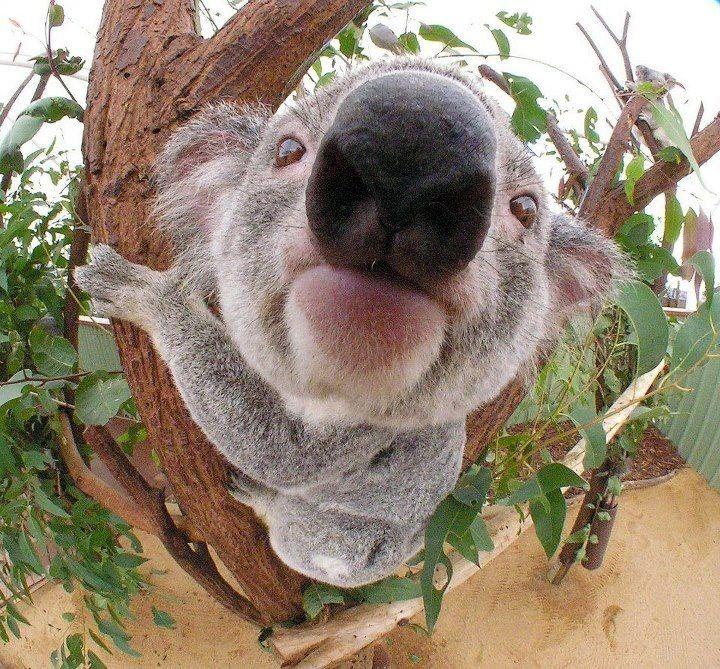 魚眼レンズを用いて鼻がドアップのコアラ。むむっとした字が可愛らしいですね。