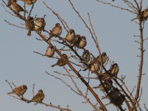 木に並んでとまる雀