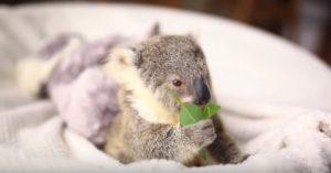 葉っぱを食べるコアラの赤ちゃん