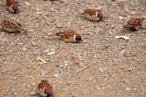地面で休む雀