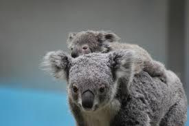 おんぶされる赤ちゃんコアラ