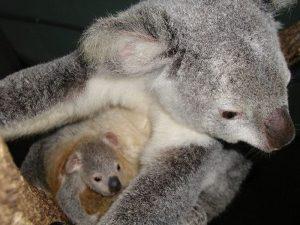 お母さんの袋に入る赤ちゃんコアラ