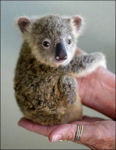 手にしがみつく赤ちゃんコアラ