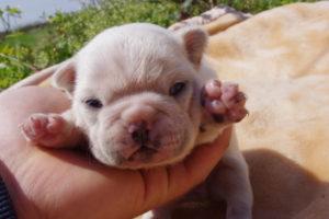 フレンチブルドッグの赤ちゃん