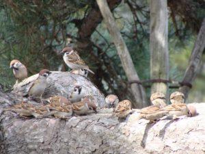 岩でくつろぐ雀