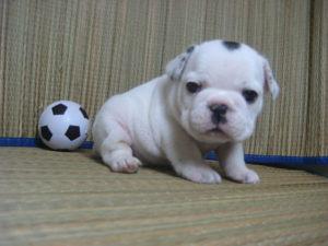 サッカーボールとフレンチブルドッグ