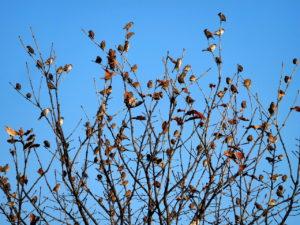 木の上で集まる大勢の雀