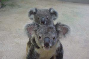 こちらを見るコアラの親子