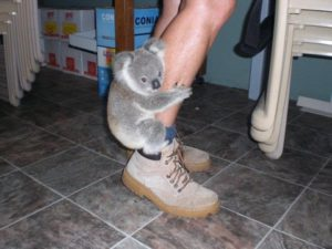 脚に抱き着くコアラ