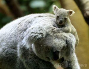 頭にのぼる赤ちゃんコアラ