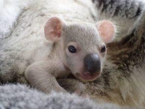 耳の丸い赤ちゃんコアラ