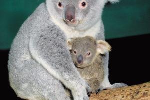 お母さんに守られる赤ちゃんコアラ