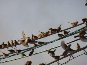 電線にあつまる雀の群れ
