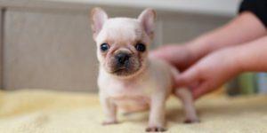 守ってあげたい!フレンチブルドッグの子犬の高画質な画像まとめ
