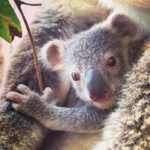 手のかわいい赤ちゃんコアラ