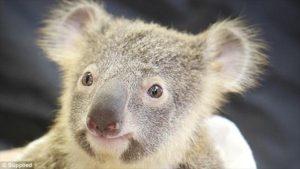 毛がほわほわのコアラ