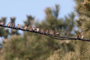 まっすぐに並ぶ雀