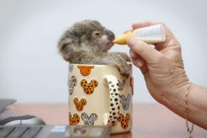 ミルクを飲むコアラの赤ちゃん