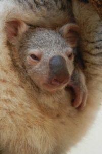 袋から顔を出す赤ちゃんコアラ