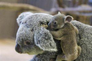 お母さんにのぼる赤ちゃんコアラ