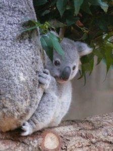 抱き着いて覗く赤ちゃんコアラ